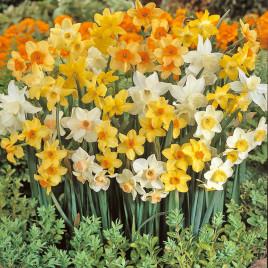 narcisse-parfum-de-printemps-melange